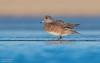 American Wigeon (Female) (salmoteb@rogers.com) Tags: bird wild outdoor nature wildlife winter american wigeon duck lowangle ontario canada