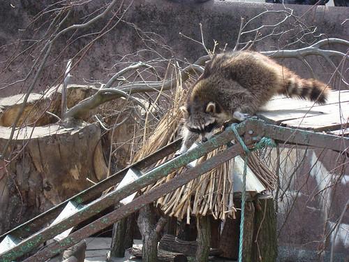 Еноты в Калининградском зоопарке ©  ayampolsky