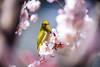 Mejiro (moaan) Tags: kobe hyogo japan jp bird japanesewhiteeye ume blossom umeblossom blossoming inblossom day daydreaming branch springbranch perch dof depthoffield bokeh bokehphotography canon canonphotography canoneos5dsr ef0200mmf28lisiiusm utata 2018