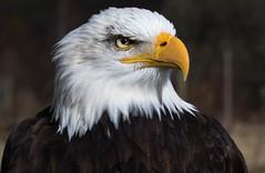 _MG_1364 (gailkeatings) Tags: eagle baldeagle birdsofprey birdofprey bird worldofwings scotland cumbernauld captive beautiful flying display tamron90mmspf28