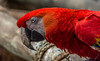 Scarlet Macaw (Pejasar) Tags: scarlet red macaw tulsa cityzoo oklahoma feathers color texture beauty zoosofnorthamerica cracks beak