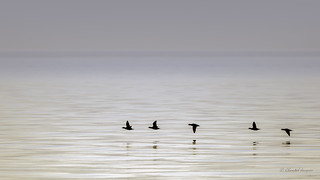 Surf Scoters just scooting by