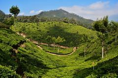 India - Kerala - Munnar - Tea Plantation - 50 (asienman) Tags: india kerala munnar teaplantagen asienmanphotography