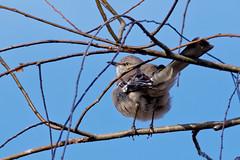Mockingbird (berpr59115) Tags: bird oiseau mockingbird louisiana usa