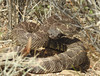 C. helleri or Southern Pacific Rattlesnake (figllano) Tags: elements