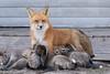 Eight (rdroniuk) Tags: animals wildlife mammals fox redfox foxes vulpes animaux renard renardroux suburbanfox femalefox femalefoxnursingkits renardfemelle renardfemelleetrenardeaux