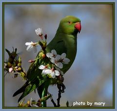 Parakeet (maryimackins) Tags: parakeet st james park wildlife london blossom spring mary mackins