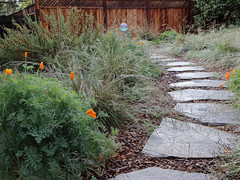 PurpleNeedleGrasses_6172a (JKehoe_Photos) Tags: cnps goingnativegardentour purpleneedlegrass stipapulchra californiapoppy deergrass salvia sage garden outdoors nassellapulchra santaclaracounty johnjkehoephotography plant