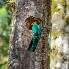 Female Quetzal (powerfocusfotografie) Tags: wildlife birdlife rainforest panama centralamerica tropical outdoors nature nest pharomachrusmocinno quetzal colors blue closeup henk nikond7200 powerfocusfotografie