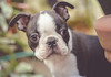 First time in the garden (dusk_rider) Tags: boston terrier puppy cute adoreable sweet gorgeous nikon d7200 nikkor 60mm dusk rider micro