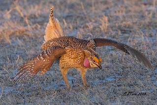 IMG_2367 sharp tailed prairie grouse