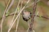 Wren Troglodytes Troglodytes (search instagram phat5toe) Tags: wren troglodytestroglodytes birds avian feathers wildlife nature wigan flashes nikon d7000 tamron150600mm