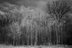 natural bar-code (ralfkai41) Tags: bäume trees schwarzweis woods nature forest bw monochrom woodlands wald natur blackwhite landschaft landscape wolken clouds