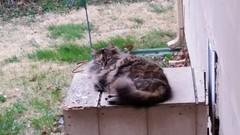 Fuzzy (Adventurer Dustin Holmes) Tags: 2018 cat cats feline pet pets animal animals mammal domesticcat straycat alleycat domesticatedcats gray grey fuzzy