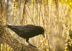 black & gold (annapolis_rose) Tags: vancouver jerichoparkeast tree spring bird crow corvid