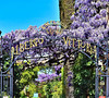 Sorrento, Italy (vincocamm) Tags: wisteria purple bloom spring hotel sign