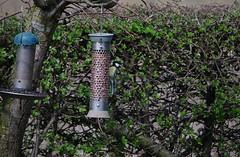 Great tit 140418 - DSC_0241 (Leslie Platt) Tags: exposureadjusted straightened cropped cheshirewestchester redhillcottages gardenbirds greattit
