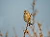 Common linnet, female (Corine Bliek) Tags: cardueliscannabina bird birds vogel vogels natuur nature nest building birding passerine zangvogel finch fringillidae tree sky animal