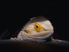 DSC00542 (MykeOwns) Tags: pogona vitticeps beardeddragon bearded dragon lizard reptile