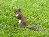 Eastern Grey Squirrel (Sciurus carolinensis). (od0man) Tags: easterngreysquirrel sciuruscarolinensis mammalia rodentia sciuridae squirrel mammal rodent fairchildtropicalbotanicgardens miami florida usa