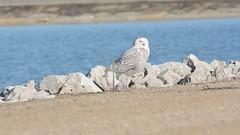 Squak squak! (Dr. Farnsworth) Tags: bird owl snowyowl seagull tern chatter divebomb muskegon mi michigan winter march2018