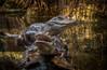 Pair of Alligators at the Chattanooga Aquarium (donnieking1811) Tags: tennessee chattanooga chattanoogaaquarium aquarium alligators water log indoors hdr canon 60d lightroom photomatixpro