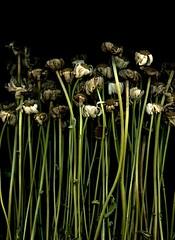 58830.01 Leucanthemum vulgare (horticultural art) Tags: horticulturalart flowers leucanthemumvulgare leucanthemum goneby deadflowers stems bouquet