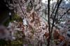 sakura_45 (gnsk) Tags: voigtlander voigtländer ultron 21mm f18 cosina a7 α7 ilce7 cherry cherryblossom