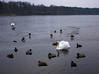 Walk on water (Rene_1985) Tags: leica m 240 zeiss zm 35mm distagon distagont1435 14 landschaft landcape see schwan swan lake eis ice cold kalt