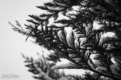 Feuilles de thuya enneigés (DavidLabasque) Tags: canon eos 6d 50mm noiretblanc blackandwhite nb bw monochrome 2018 winter hiver neige flocons snow white