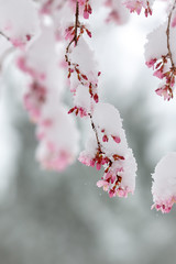 Cold Blossoms (Karol A Olson) Tags: snow cold spring cherrytreeblossoms tree