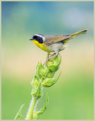 12 - Common Yellowthroat on Compass Plant