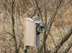 Moving in (snooker2009) Tags: bird waterfowl duck wood wooduck migration pennsylvania nest box