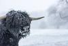 Beast from the East (Justin Haynes Photography) Tags: england winter gb greatbritain warwickshire outdoor midlands westmidlands snow unitedkingdom southam britain wwwjustinhaynesphotocouk nikon50mmf18d d7100 cow highlandcow nature nikon europe uk white