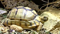Testudo kleinmanni (ericwouwenberg) Tags: tortoise egyptian reptile rare beautiful testudo