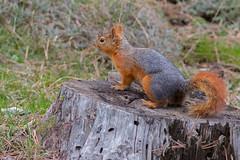 Squirrel (keynowski) Tags: squirrel sincap nature ngc animalplanet animal wild wildlife 70d canon70d 400mmf56l canonef400mmf56lusm