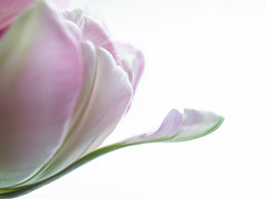 Tulipe rose et vert (sosivov) Tags: macro flower tulip pink petals green whitebackground