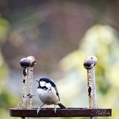 COAL TIT 10 (Nigel Bewley) Tags: coaltit periparusater garden backyard ealing london england uk w5 wildlife naturalhistory greatoutdoors wildlifephotography endangeredwildlife bird birds avian birdlife distinguishedbirds birdwatcher creativephotography artphotography unlimitedphotos march march2018 nigelbewley photologo winterwatch rspb winter springwatch bto amateurphotographer