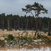 Swinley Forest (markhortonphotography) Tags: purplemoorgrass surrey spring tree markhortonphotography swinleyforest bagshot surreyheath pine silverbirch gorse snow thatmacroguy cold