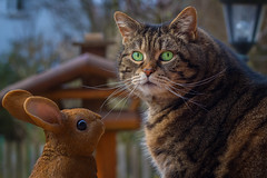 Gosh, is it Easter again ? (FocusPocus Photography) Tags: cleo katze cat chat gato tier animal haustier pet osterhase hase ostern easter bunny hare easterbunny