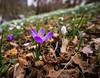 Spring Crocus (_Yorick_) Tags: botanical gardens utrecht samyang 12mm sel55210 sony a6000 flower spring colors colours lily springdrops snowdrops crocus macro narcissus nature tc 17 teleconverter