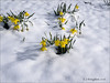 Burgess Field 2018_8 (johnzsv) Tags: burgessfield burgess oxfordshire oxford olympus em1mk2 nature daffodil snow flowers outdoor snowscape england