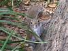 Um pequeno Ésquilo  ( A little Squirrel ) (eduardobh1) Tags: squirrel esquilo animais animals