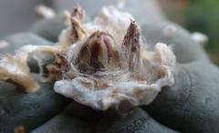 Lophophora williamsii (armen.cactus) Tags: cactus succulent peyote bud lophophora williamsii