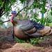 Wild Turkey (m)