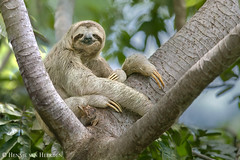 The sleepy sloth (hvhe1) Tags: nature wildlife animal mammal wild costarica manuelantonio brownthroatedthreetoedsloth bradypusvariegatus kapucijnluiaard braunkehlfaultier paresseuxàgorgebrune hvhe1 hennievanheerden specanimal