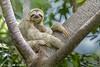 The sleepy sloth (hvhe1) Tags: nature wildlife animal mammal wild costarica manuelantonio brownthroatedthreetoedsloth bradypusvariegatus kapucijnluiaard braunkehlfaultier paresseuxàgorgebrune hvhe1 hennievanheerden specanimal