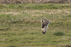 Short Eared Owl-7183 (WendyCoops224) Tags: winterwatch 100400mml 80d fens canon eos ©wendycooper short eared owl asio flammeus