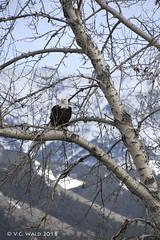 Eagle tree (V. C. Wald) Tags: baldeagle haliaeetusleucocephalus springhillroad bozemanmontana tamron16300mmdiiipzd gallatincounty