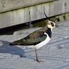Lapwing (MJ Harbey) Tags: lapwing bird willenlake buckinghamshire miltonkeynes vanellusvanellus nikon d3300 nikond3300 wildbird peewit